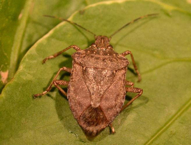 Imatge detall de l'insecte Halyomorpha halys