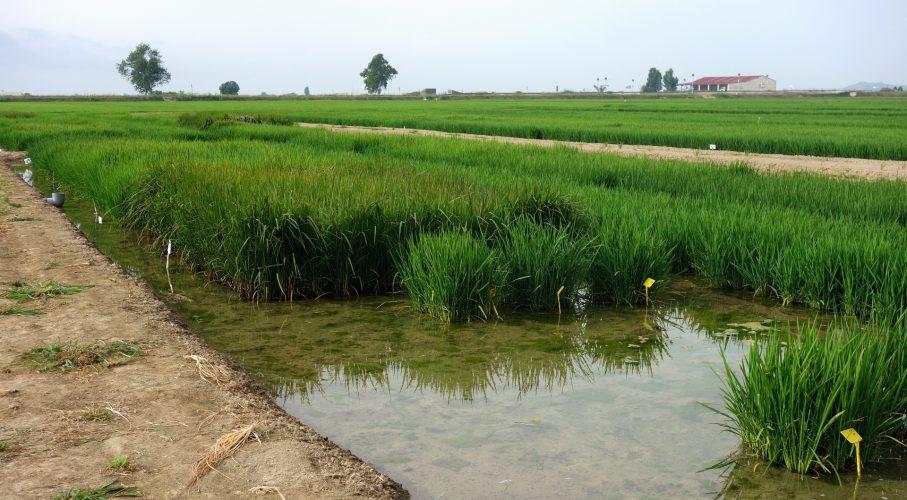 Camp d'arròs a les Terres de l'Ebre