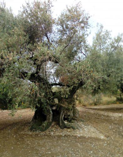 olivera mediterrània