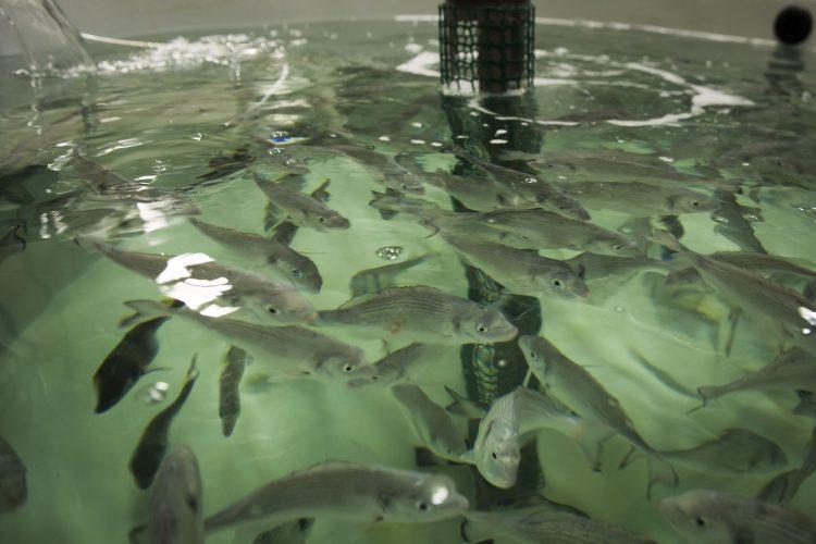Benestar peixos